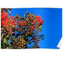 swift parakeet. eastcoast, tasmania Poster