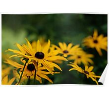 Yellow Black Eyed Susan Flowers Photograph Poster