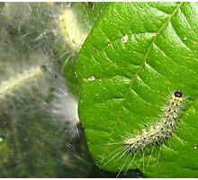Tent Caterpillar  Photographic Print