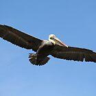 Soaring Pelican by Paulette1021