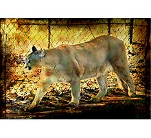 Florida Panther Photographic Print