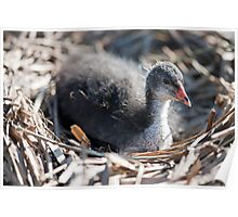 Coots Nest Poster