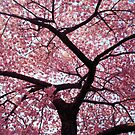 Cherry Tree- Washington DC by mitchcatan