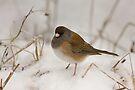SNOW BIRD by Sandy Stewart