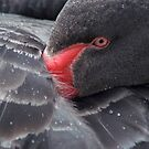 Elegance - Black Swan by Cliff Williams