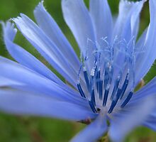 Chicory flower by Ana Belaj
