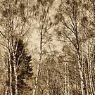 Birch wood by www.romansolar photography.com