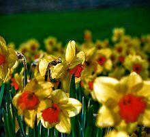 Daffodil Field by induruwana