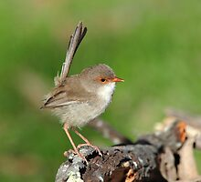 Superb Fairy Wren  (Female) taken at Ulan NSW. by Alwyn Simple
