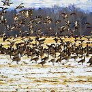 Raining (or snowing) mallards and geese by amontanaview