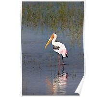 Painted Stork, Minneriya Poster