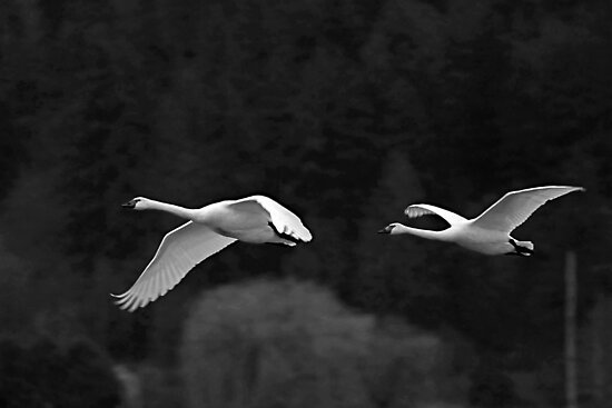 trumpeter swan pair flying by by dedmanshootn