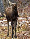 Young bull moose by amontanaview