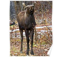 Young bull moose Poster