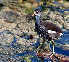 Juvenile Green Heron by Gail Falcon