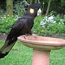 Black Cockatoo! by KiriLees