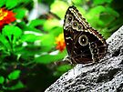 Blue Morpho Butterfly  by Marcia Rubin