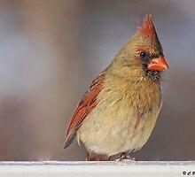 A Female Cardinal by barnsis