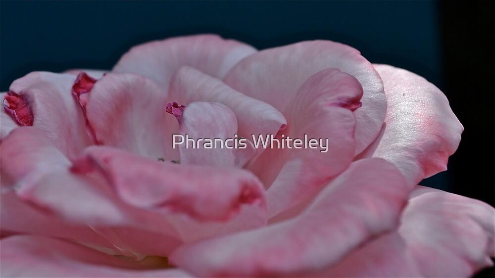 Precious Pink Petals by Phrancis Whiteley