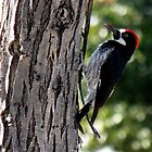 Acorn Woodpecker ~ Male by Kimberly Chadwick