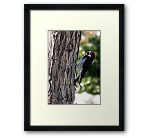 Acorn Woodpecker ~ Male Framed Print