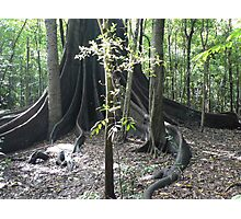 The Forest Giant, Wingham Brush Photographic Print