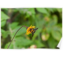 Solitary bee on yellow flower Poster