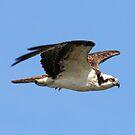 Osprey in flight 3 by jozi1