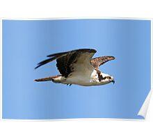 Osprey in flight 3 Poster