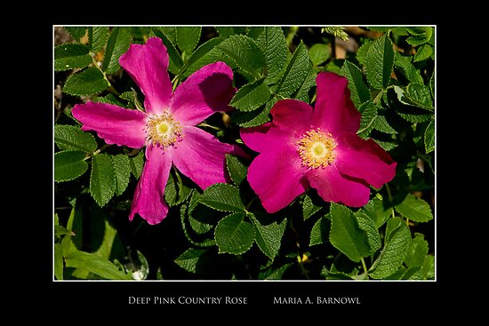 Deep Pink Country Rose - - Posters & More by Maria A. Barnowl
