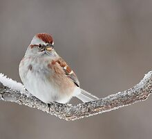 American Tree Sparrow. by Daniel Cadieux