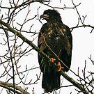 Bald Eagle Juvenile by RichImage