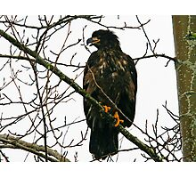 Bald Eagle Juvenile Photographic Print