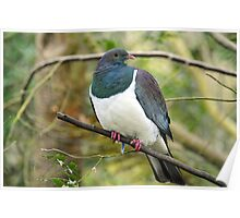 The Wood Pigeon. Haast Beach, South Island, New Zealand. Poster