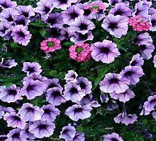 #498  Purple Petunias by MyInnereyeMike