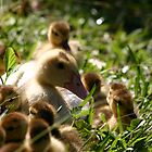 Mama Duck and Babies by Denise N Young