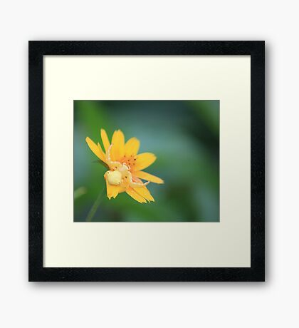 Yellow Crab Spider Framed Print