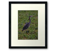 handsome heron Framed Print