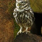 Little Owl by Mark Hughes
