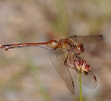 Autumn Meadowhawk at Mirror Lake by eggshapedcat