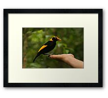 A Regent Bowerbird in the hand is worth two or more photos Framed Print