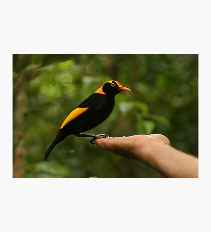 A Regent Bowerbird in the hand is worth two or more photos Photographic Print