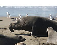 Mature Male Elephant Seal Photographic Print