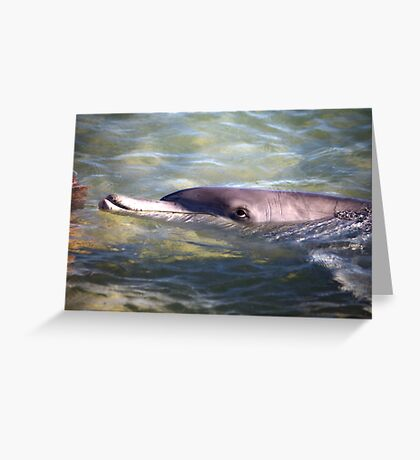 Dolphin at Monkey Mia Western Australia Greeting Card