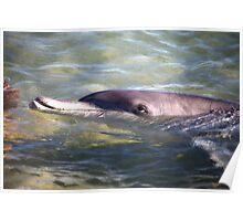 Dolphin at Monkey Mia Western Australia Poster