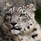 Snow Leopard by Kimberly Palmer