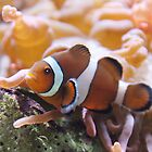 """Where's ....?"" - clownfish by John Hartung"