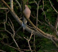 Mourning Dove by Leah wilson