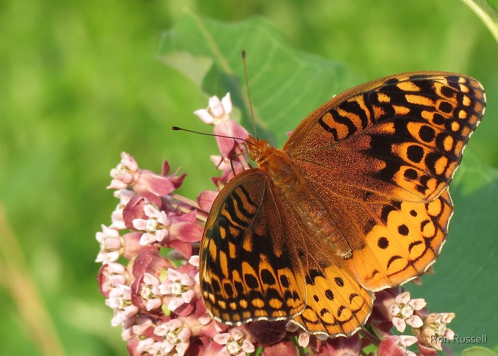 Great Spangled Fritillary sipping Milkweed Nectar by Ron Russell