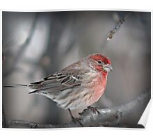 Housefinch Poster